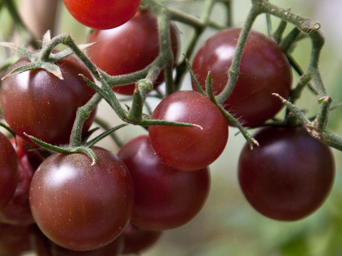"""Chocolate Cherry"" paradicsom"