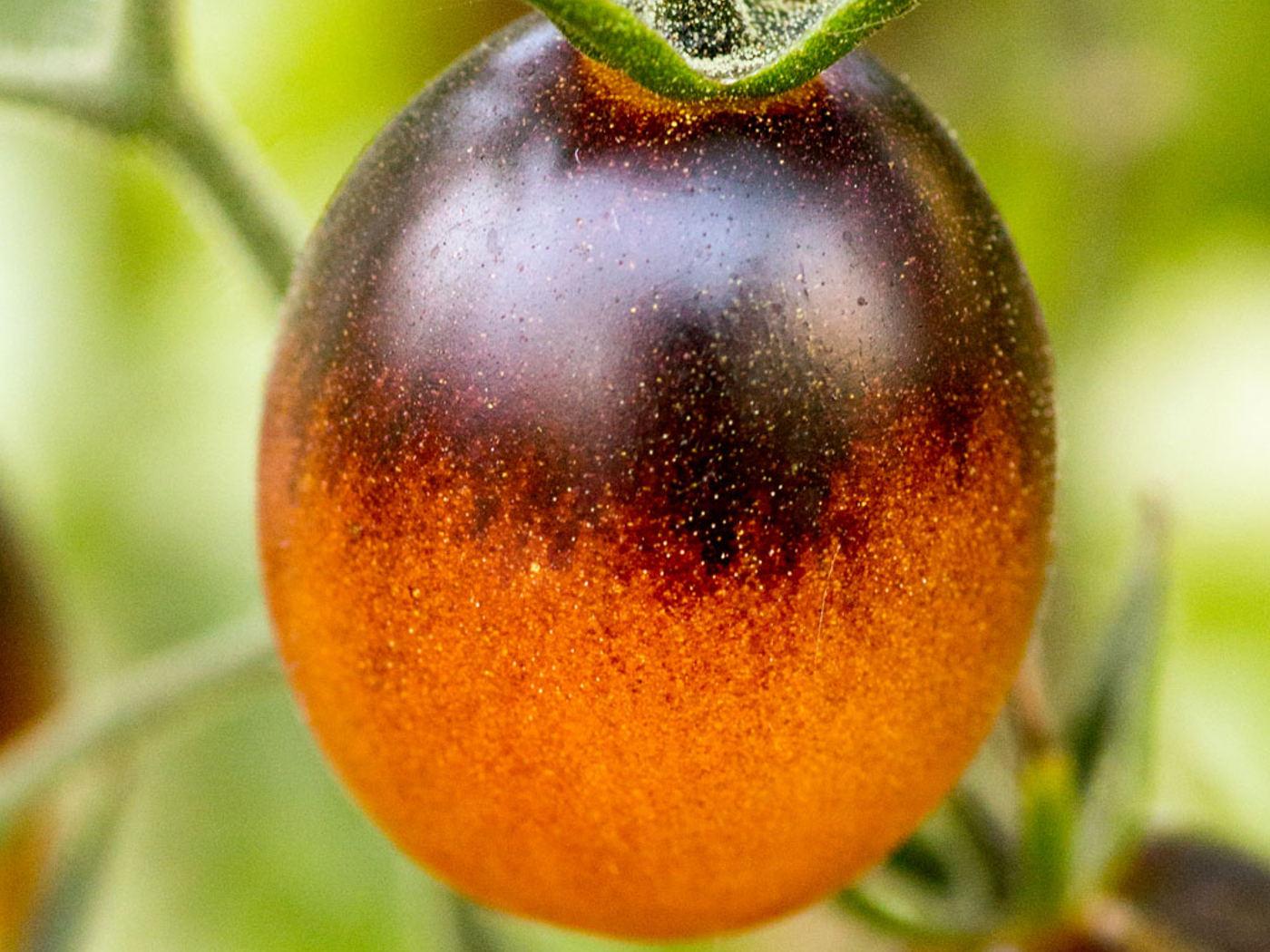 """""""Indigo Kumquat"""" paradicsom mag"""