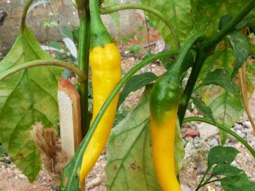 Yellow Cayenne paprika mag