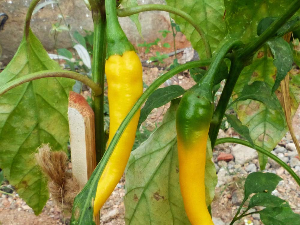 yellow cayenne