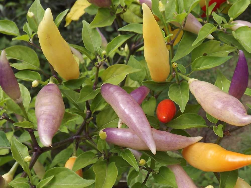 Aji Omnicolor paprika