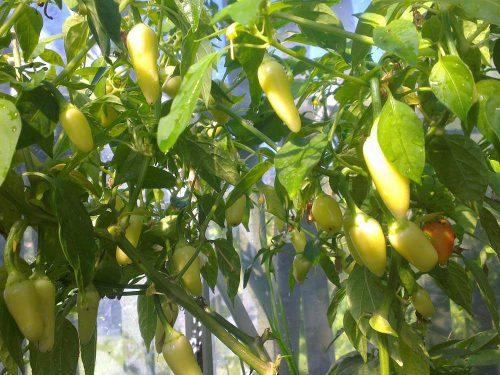 Cascasbella paprika