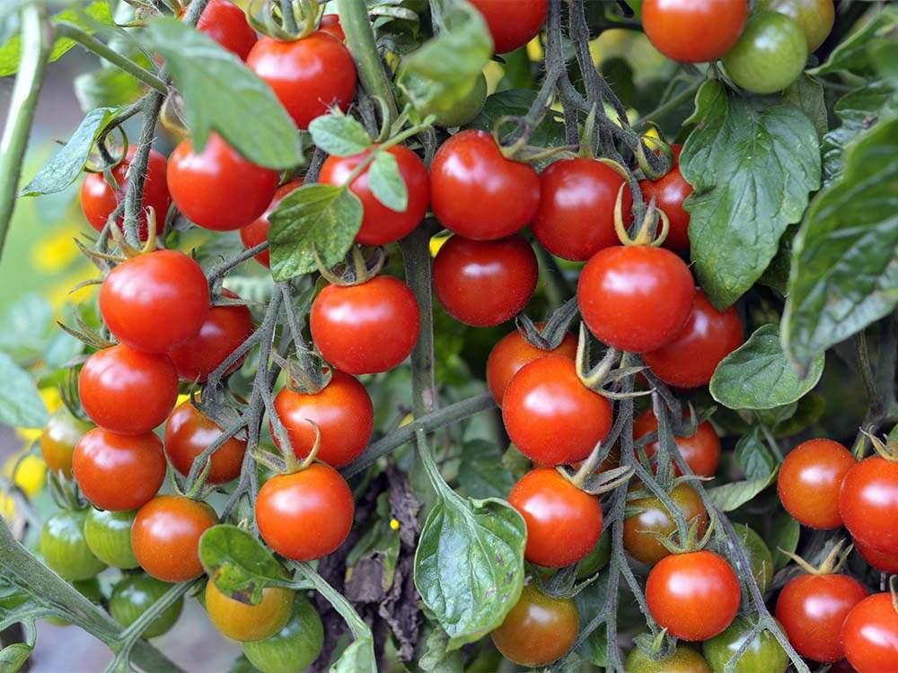 Vörös paradicsom, Vörös riasztás bokros koktélparadicsom mag (5+ db.)