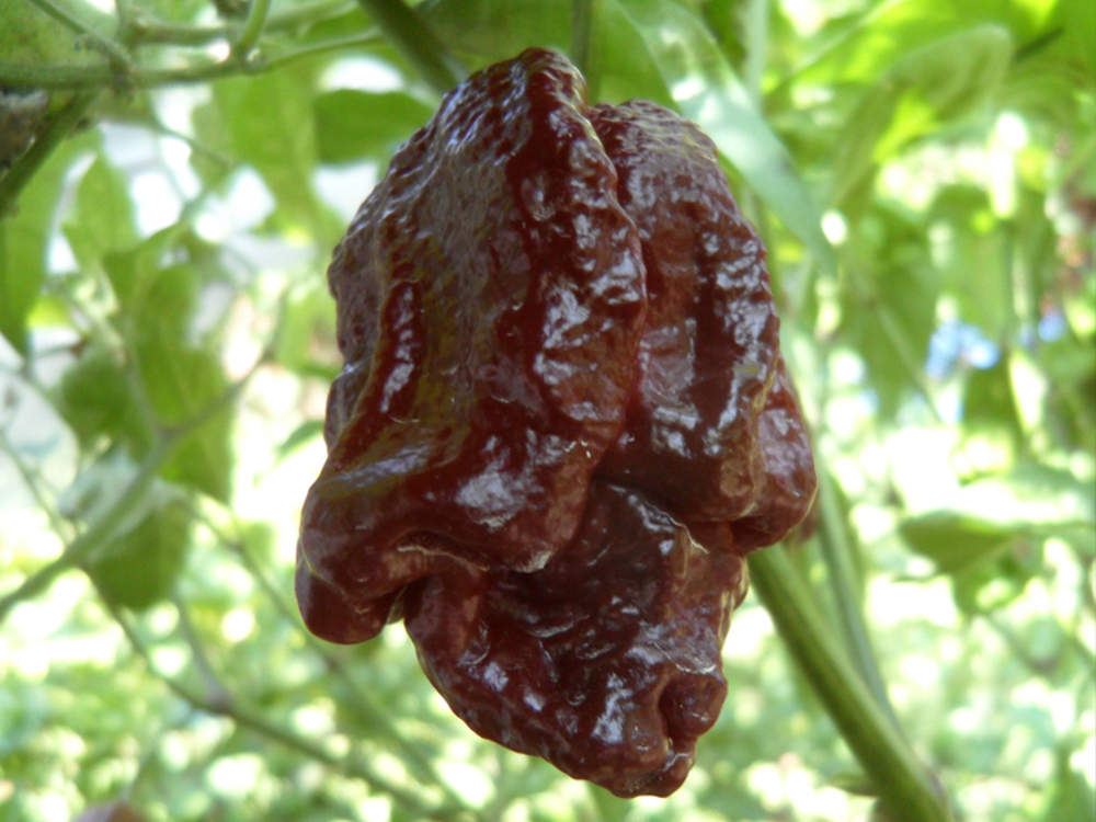 Trinidad Scorpion Moruga Chocolate
