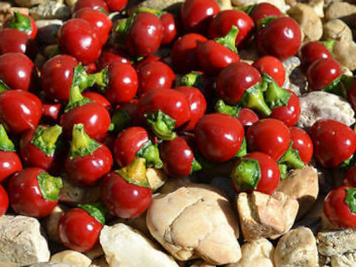 Kalocsai cherry