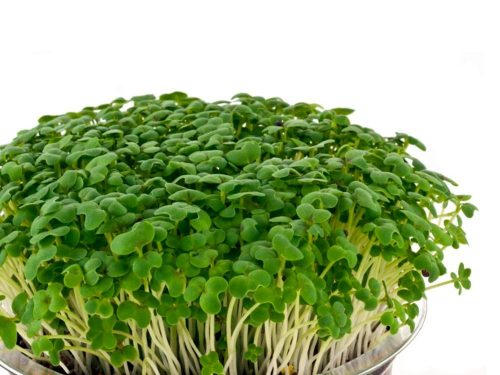 Mikrozöldség termesztés, csíráztatás