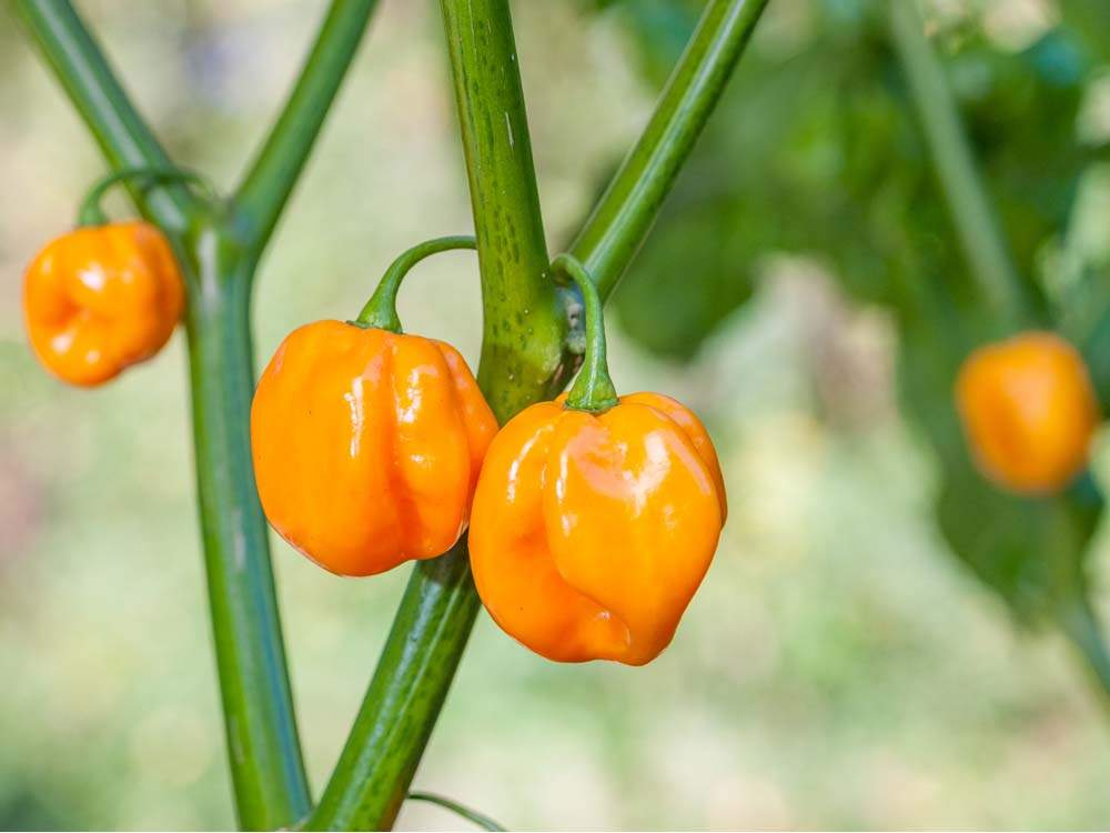 TRINIDAD SCORPION MOROVARS YELLOW