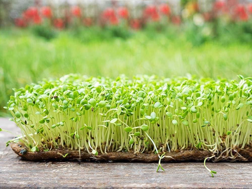 kenderszőnyeg mikrozöldség termesztéshez