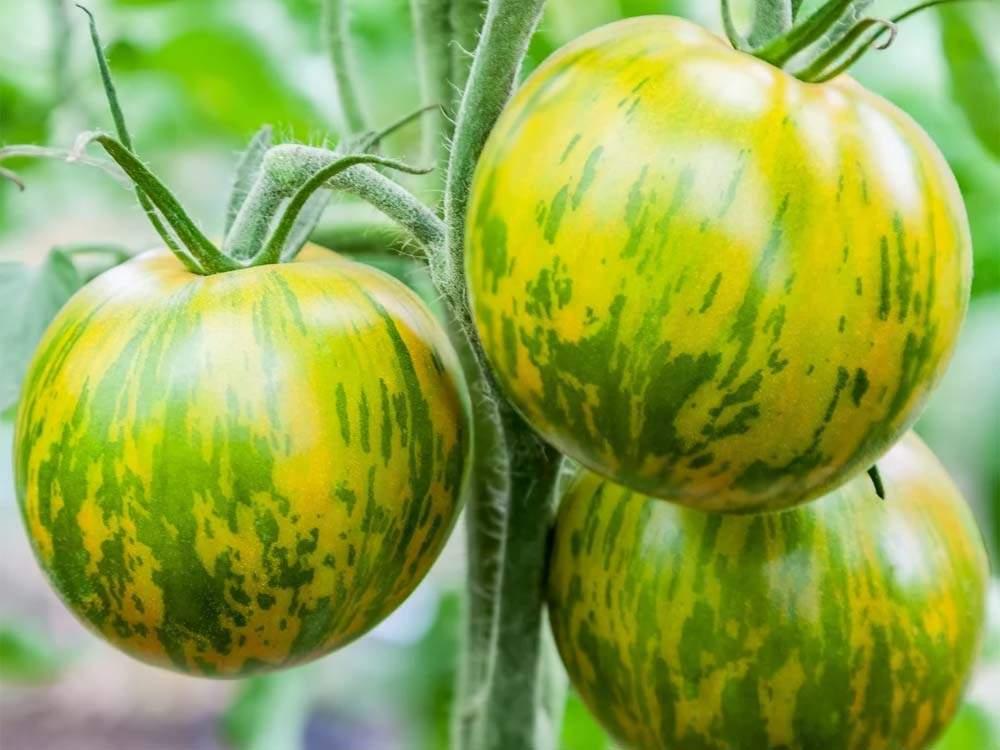 Zöld Zebra paradicsom mag 5 db. - Kertlap Kertészeti Webáruház