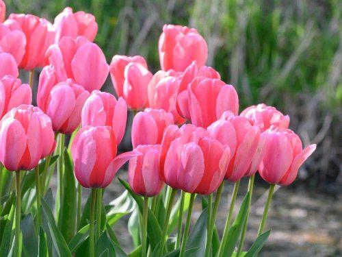 Tulipánhagymák