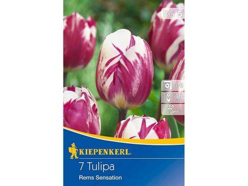 Kiepenkerl Rems Sensation Triumph tulipán